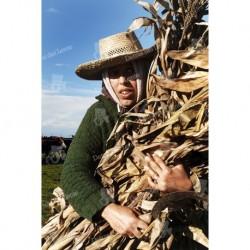 China trabajando en el maizal